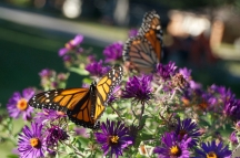 DSC_4101 Monarch Rare